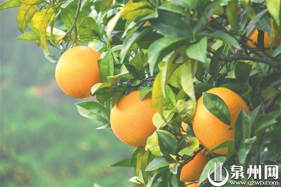 南安市第三届蓬华脐橙丰收文化旅游周开启