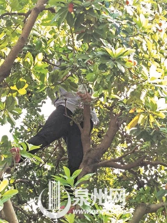 公园内爬树采杨梅