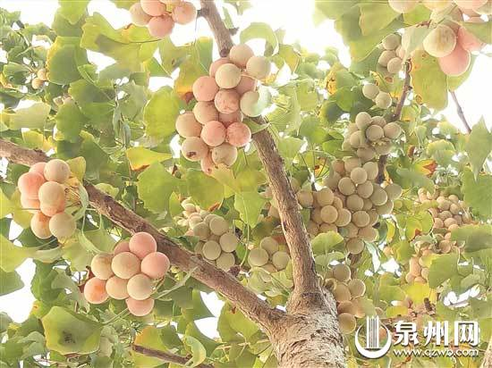 德化县杨梅乡安村村又到银杏叶黄时 满树黄金甲 迎客赏秋来