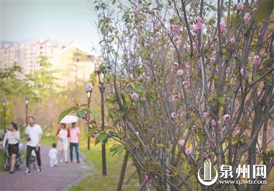 泉州西湖南大门附近,原本三四月开花的八重樱,受天气影响,五月才来报到。