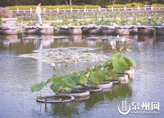 泉州东湖公园,小荷已露尖尖角。